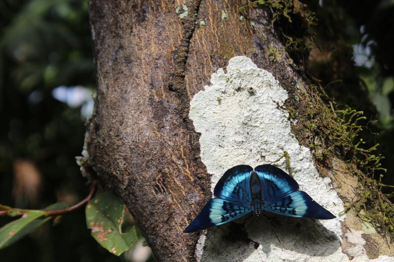 A closeup of a Queen Flasher butterfly, panacea regina, sitting on a tree in an Ecuadorian jungle. A beautifully blue queen flasher butterfly, panacea regina stock image