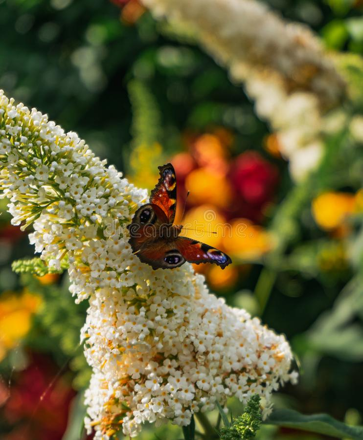 Beautifully bright colored european peacock butterfly on white buddleja flower stock images