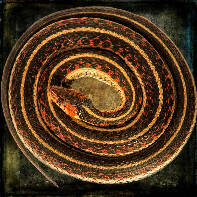 Garter Snake - Thamnophis sirtalis - Curled on Texture. A beautifully colored Garter Snake is portrayed on a grungy textured background in this art composite stock illustration