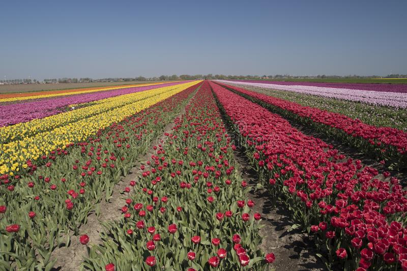 Countless colored Dutch tulips to the sky. Beautifully colored tulip landscape with rows of tulips up to the horizon with a cloudless sky royalty free stock photography
