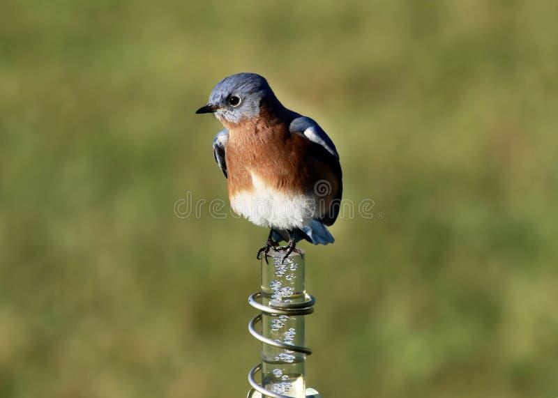 Beautifully färgad manlig blåsångare arkivfoto