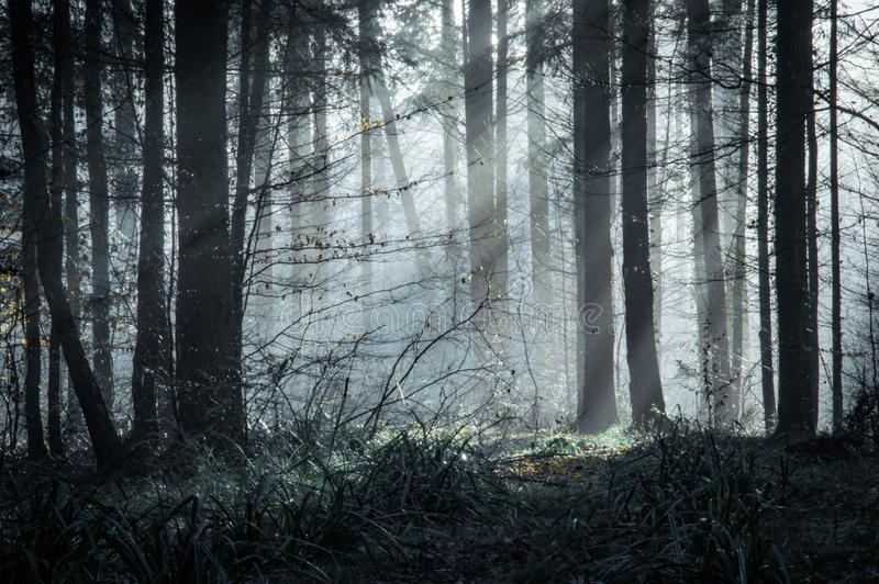 A beautifully moody forest with sun beams coming through the trees on a misty winters day royalty free stock photography