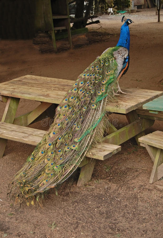 Beautifully posed peacock. A beautiful peacock poses for its picture on a farm picknick table royalty free stock photo