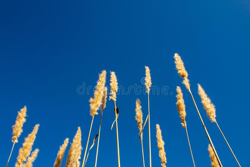 Tall dandilion grass reaching into the blue sky stock image