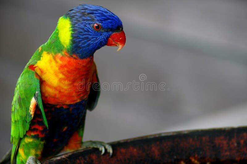 beautifuly πουλί που χρωματίζεται στοκ φωτογραφία