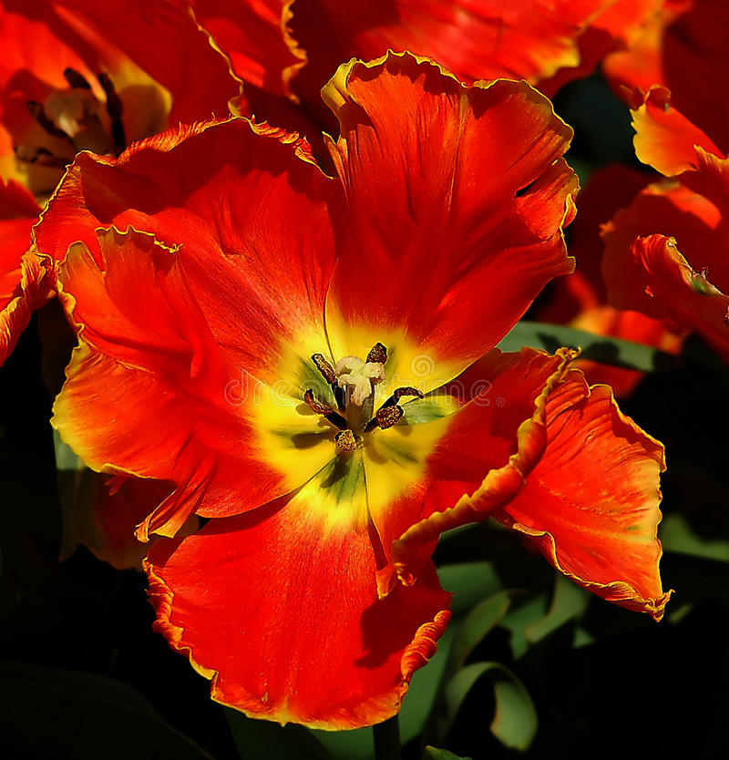 Download Beautifuly Red Tulip Flower Stock Image - Image of spring, tulip: 14249535