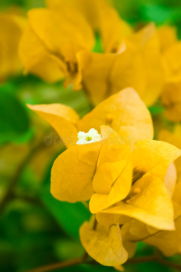 BeautifulYellowBougainvillea. This picture is a medium view of a yellow Bougainvillea glabra chois flowers on a garden. It looks like so beautiful. Taken with stock photography