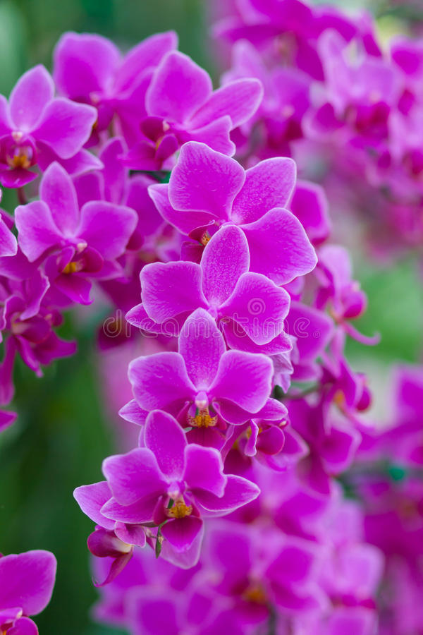 Beautuful Pink Orchid. Flower in the garden stock photography