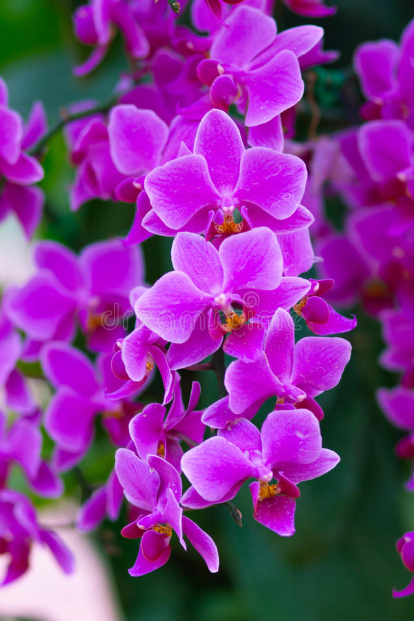 Beautuful Pink Orchid. Flower in the garden stock images
