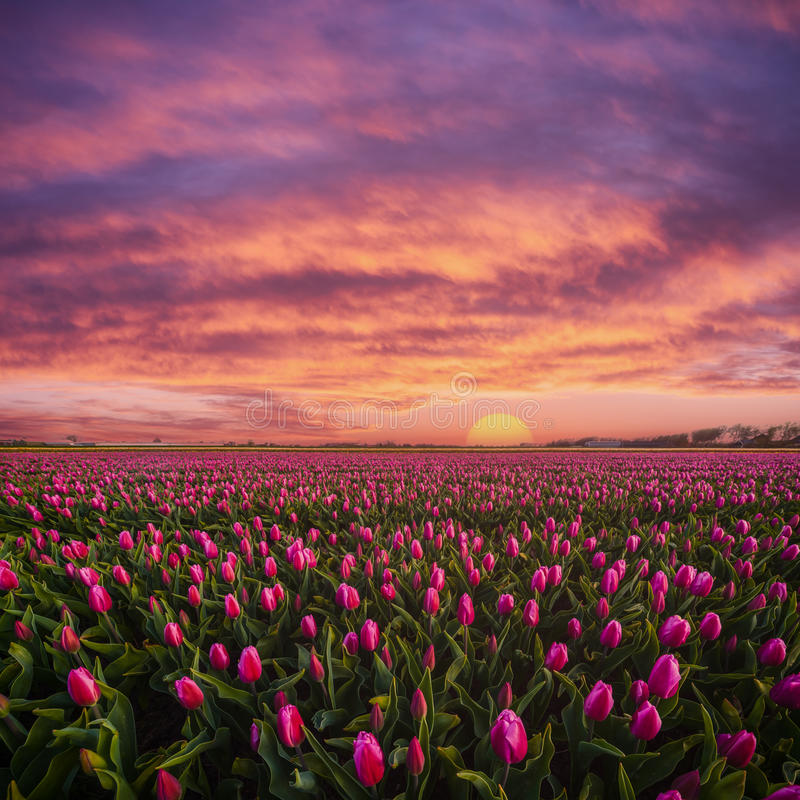 Free Beautuful Sunrise Over Field Of Tulips Royalty Free Stock Images - 84074159
