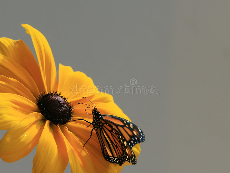 Beauty. Monarch Butterfly on a Black-eyed susan stock image
