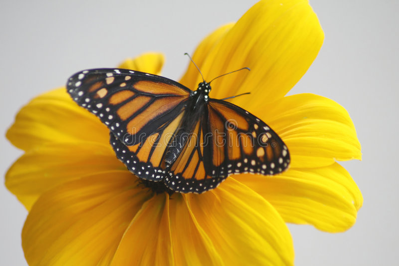 Beauty. Monarch Butterfly on a Black-eyed susan stock images
