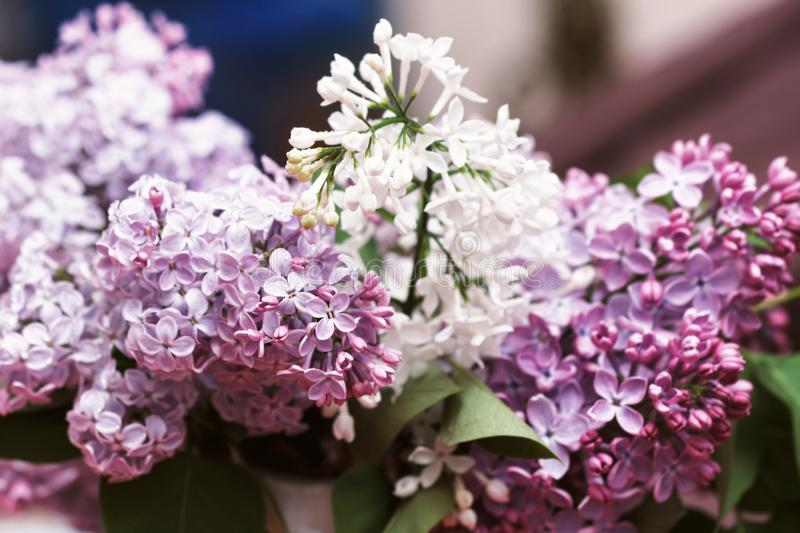 Branches of beauty blooming lilac stock photos