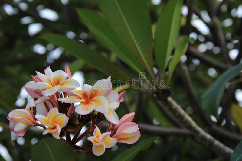 Beauty blooming Plumeria,Plumeria On the left side of the image.  royalty free stock photos