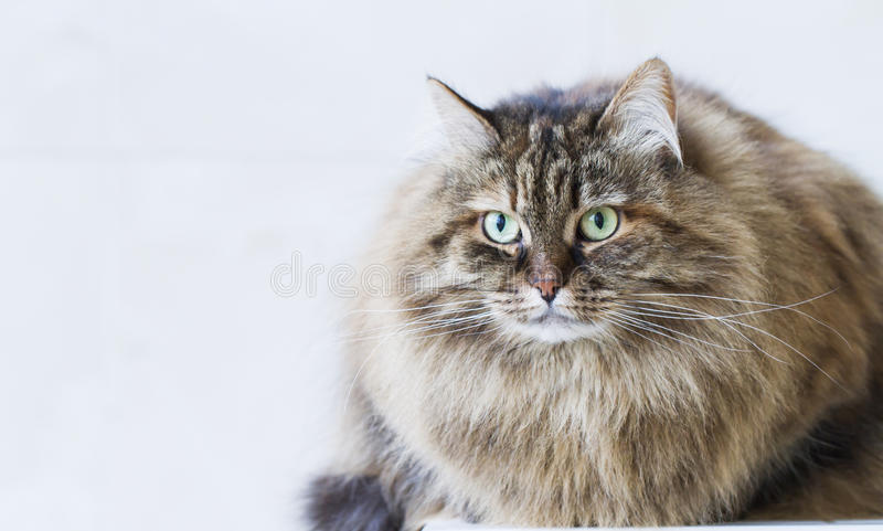 Beauty brown mackerel kitten outdoor, siberian cat stock photography