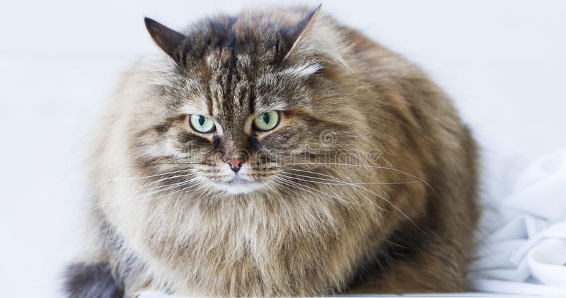 Beauty brown mackerel kitten outdoor, siberian cat royalty free stock photography