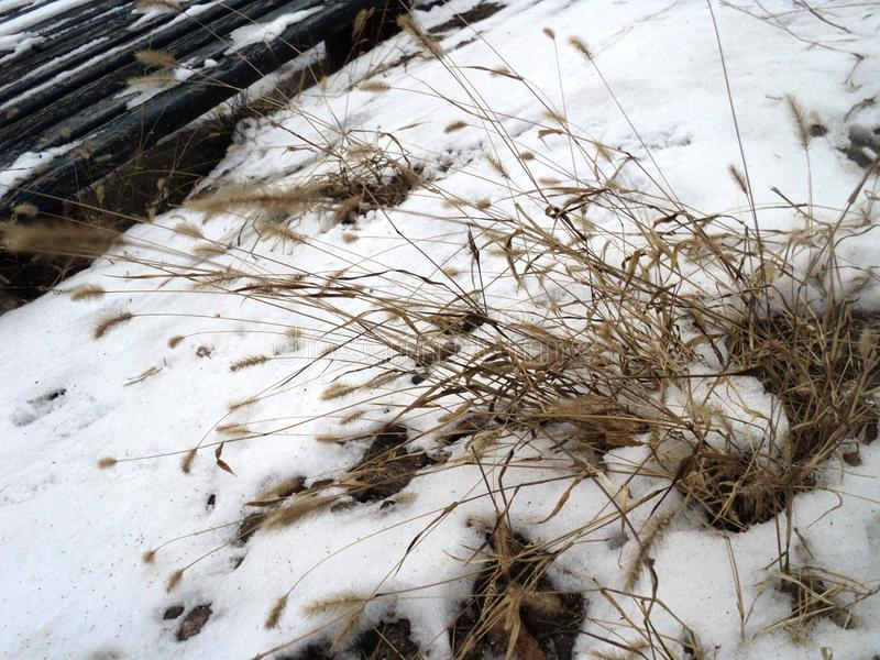 beauty bunch of dry grass lying on the first snow stock photos