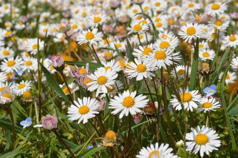 A beautiful meadow of white and yellow daisies, remember that spring arrives stock image