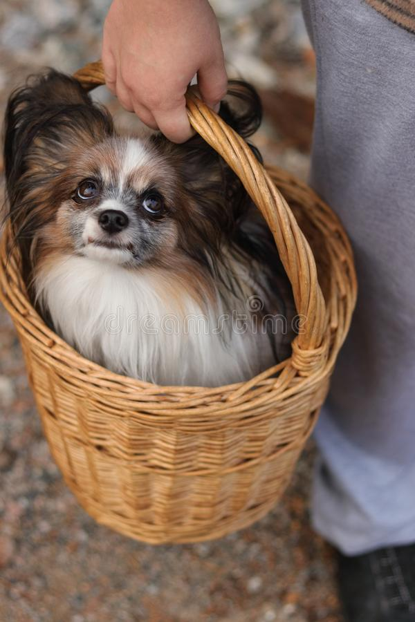 Beauty, cute and lovely little furry dog papillon sit in wicker hand small basket which hold girl hands. He has black long fur, royalty free stock photography