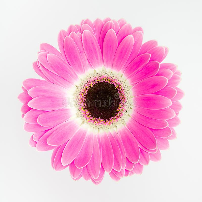 Cute pink flower on white background stock image image of download cute pink flower on white background stock image image of beautiful purple mightylinksfo