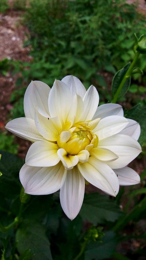Beauty Dahlia hybrida, a flower of the white yellow middle bud thick fleshy petal royalty free stock image