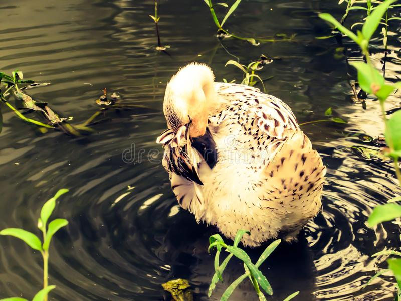 Beauty of a duck. A picture of a duck swimming on a pond near my house clicked by me on May 7th 2018 at kolkata , India royalty free stock images