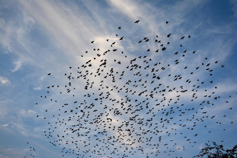 BEAUTY OF EVENING CLOUDS AND FLOCKING BIRDS royalty free stock image