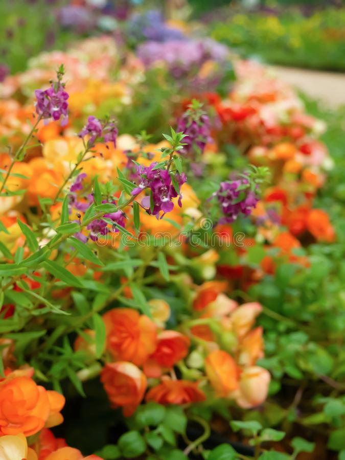 The beauty of the flower with colorful purple are blooming in the garden royalty free stock photo