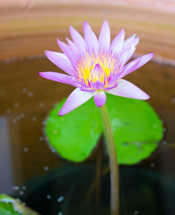 Beauty flower purple lotus in water. Beauty flower purple lotus in a water royalty free stock photos