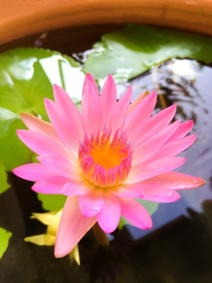 Beauty flower purple lotus in water. Lotus flower stock images