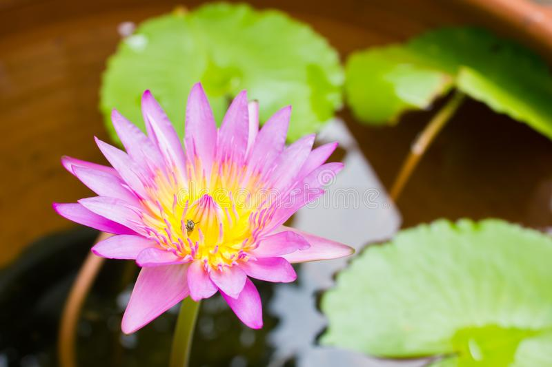 Beauty flower purple lotus in water. blossom lotus. Beauty flower purple lotus in water. blossom lotus royalty free stock image