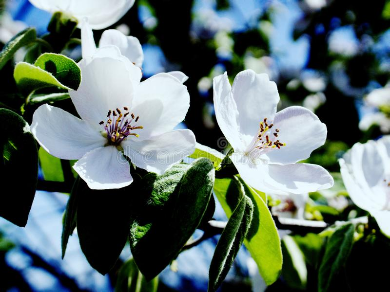 Beauty of flowering quince stock images