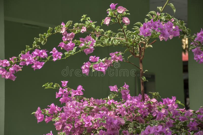 Beauty flowers Pink Bougainvillea royalty free stock photography