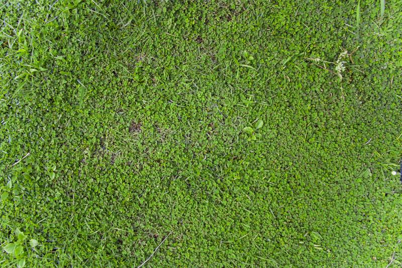 Beauty full green grass, Green lawn, Backyard for background, Grass texture, Green lawn desktop picture, Park lawn texture. High resolution image gallery stock photos