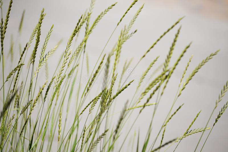 Beauty of green leaves of high grass on a gray background. Of blurring horizontally for printing on paper or textiles stock photos