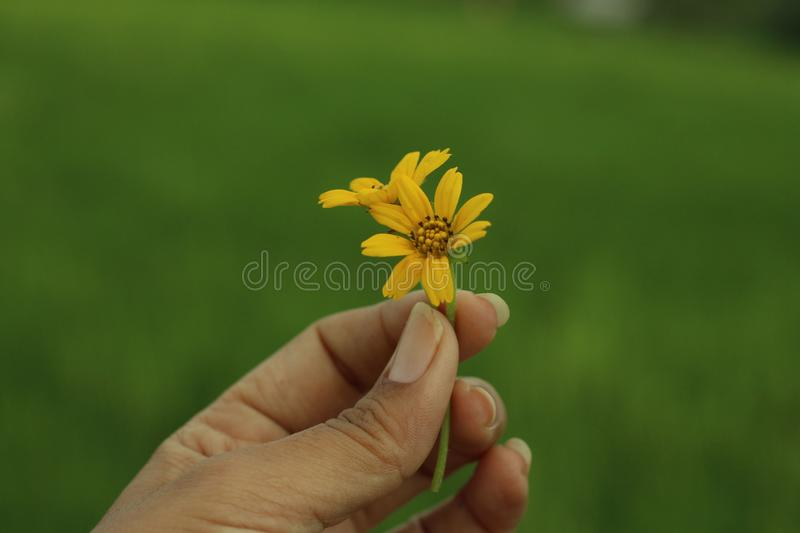 Yellow flower in hand. Young woman fingers holds little daisy flowers concept. Blury green background with copy space stock photo