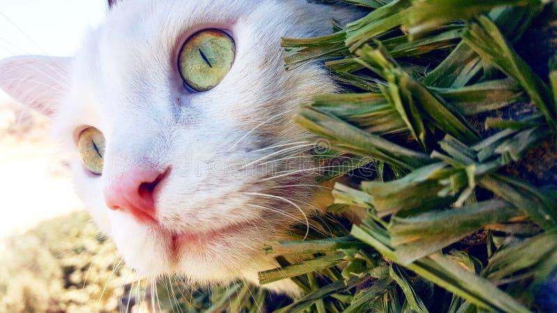 Beauty of a Jordanian cat royalty free stock photos