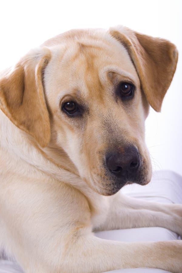 Free Beauty Labrador Stock Photos - 7578073