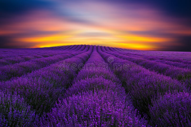 Beauty of lavender 2 royalty free stock photo