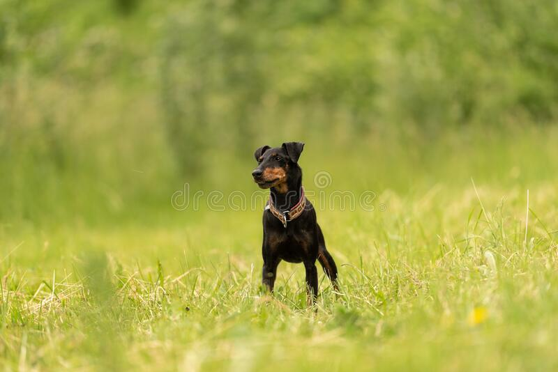 Beauty Manchester Terrier dog stands in a green meadow in front of green background an is looking in camera royalty free stock photo
