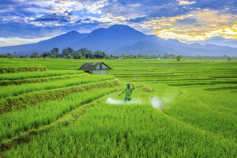 The beauty morning at rice fields stock photography