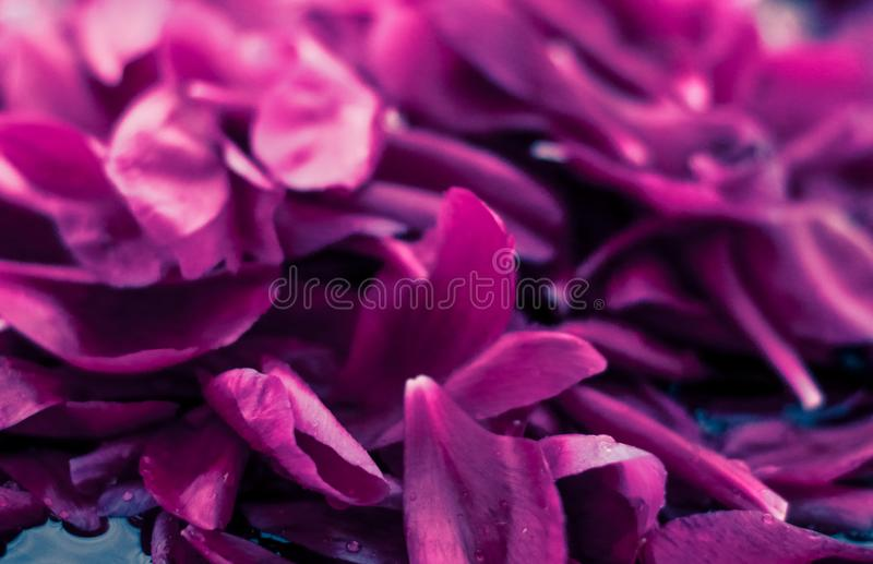 Abstract floral background, purple flower petals in water. Beauty of nature, dream garden and wedding backdrop concept - Abstract floral background, purple royalty free stock photos