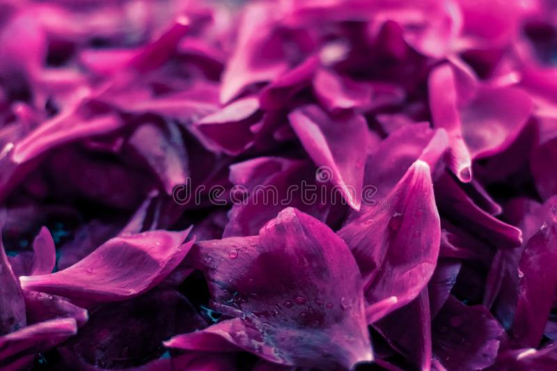 Abstract floral background, purple flower petals in water. Beauty of nature, dream garden and wedding backdrop concept - Abstract floral background, purple royalty free stock image