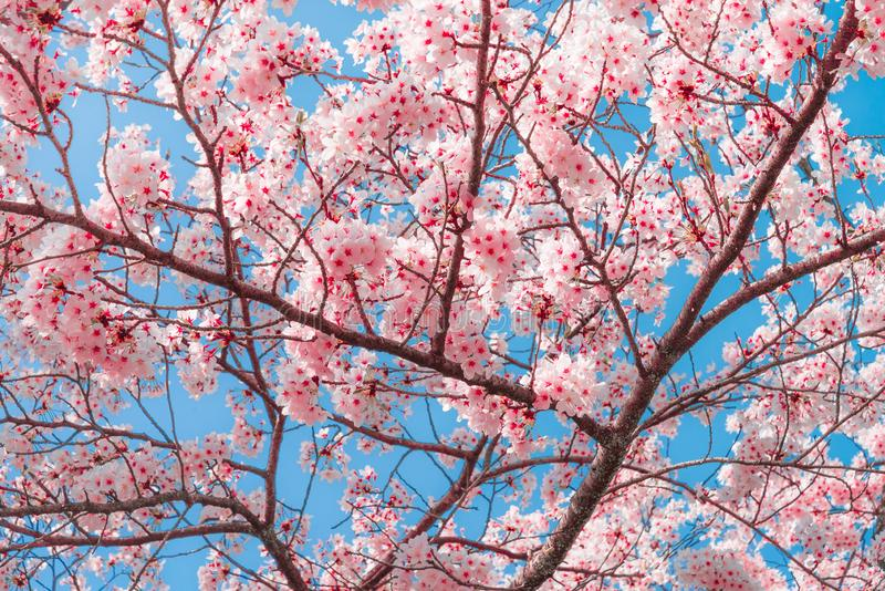 Beauty in nature of pink spring cherry blossom in full bloom stock image