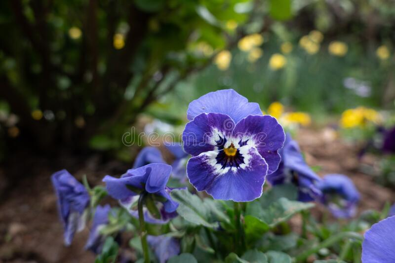Pansy Flowers in the Garden. The beauty of the pansy flowers in the garden royalty free stock image