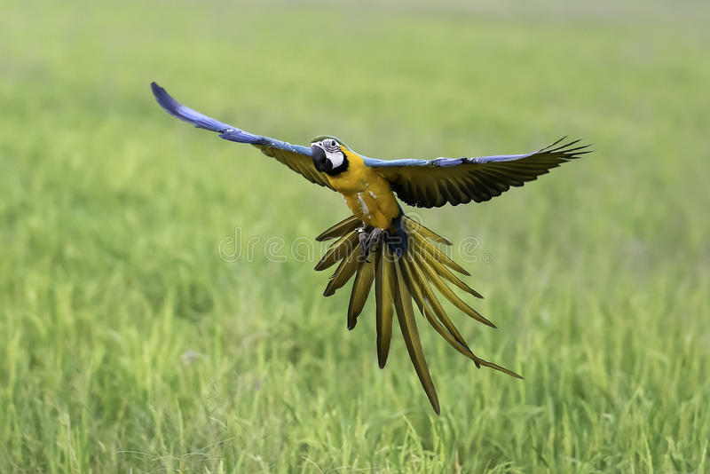 Beauty parrot flying in rice field, action stock image