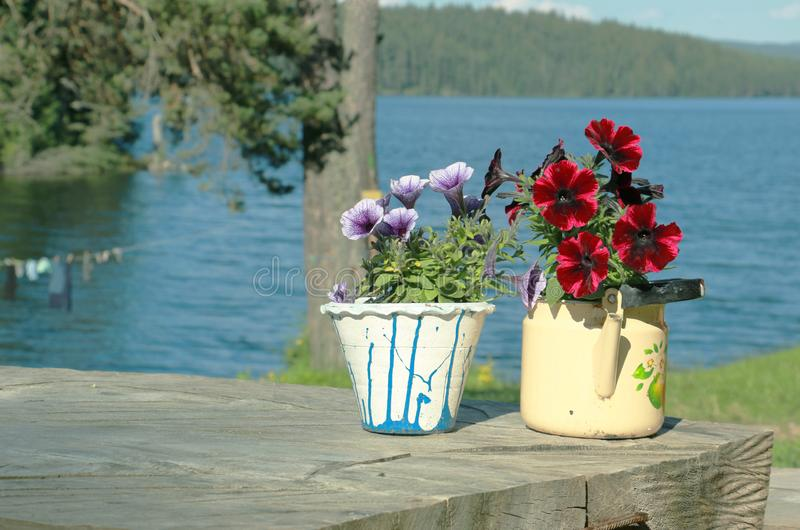 The beauty of petunias in summer... royalty free stock photography
