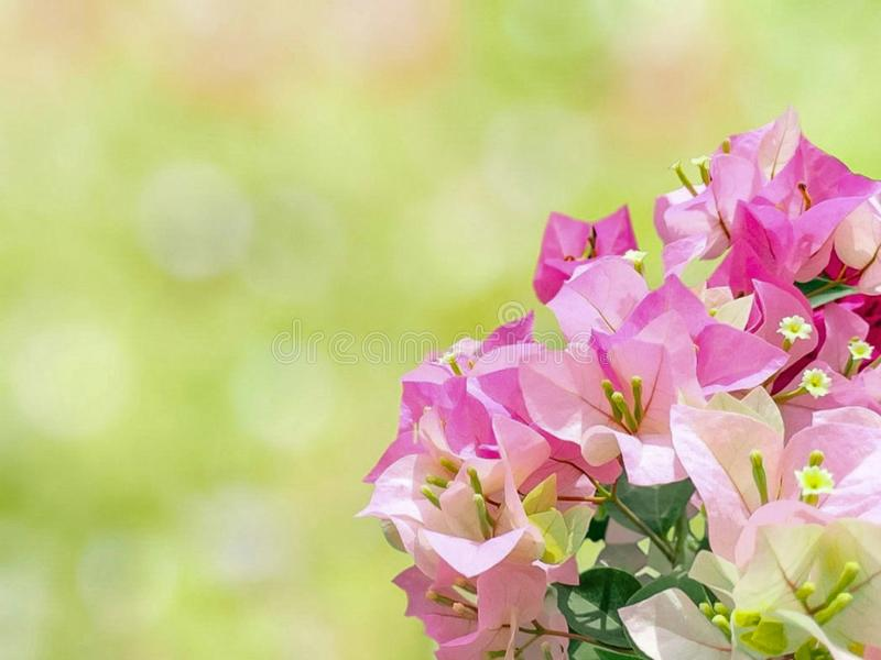 The beauty of pink flowers with the background of natural light. royalty free stock photos