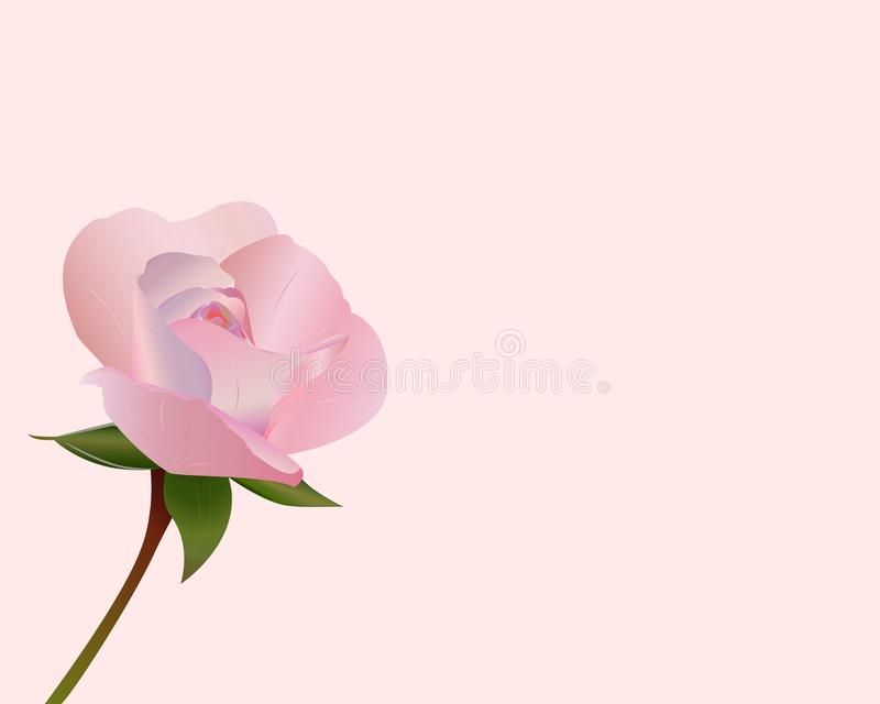 Beauty pink rose for lovers royalty free stock images