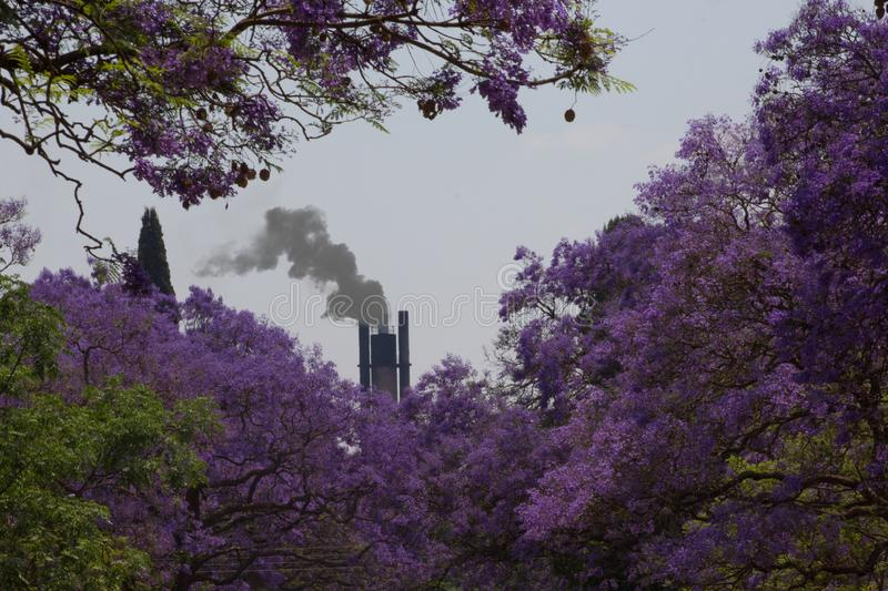 Beauty and Polution , Jacaranda trees bloom and smoke in the background stock photography